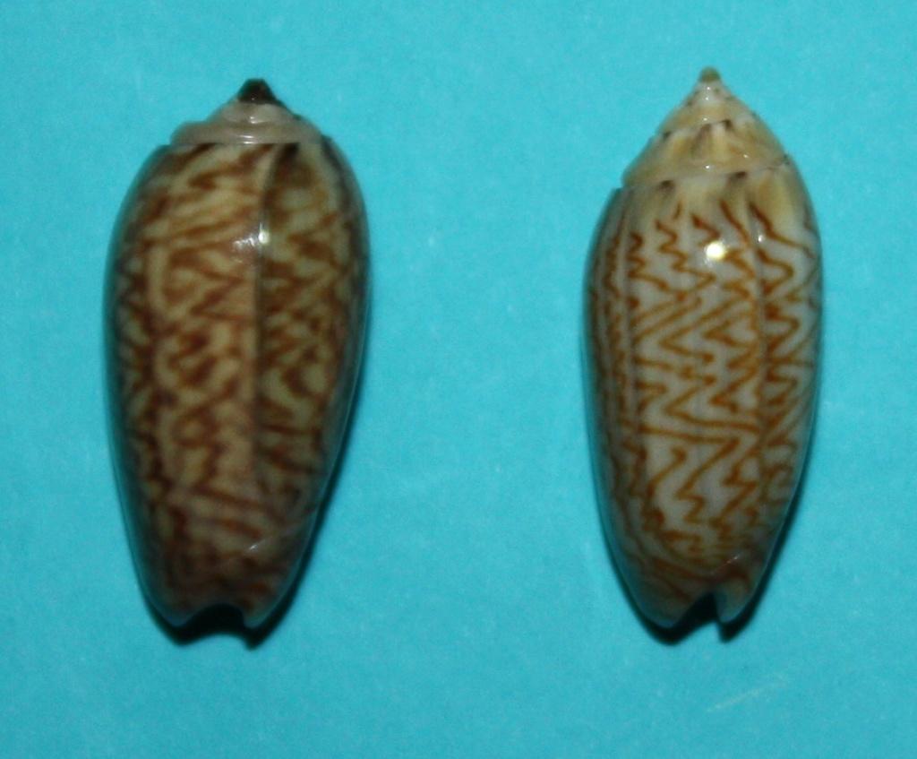 Oliva mucronalis Petuch & Sargent, 1986 Img_1818