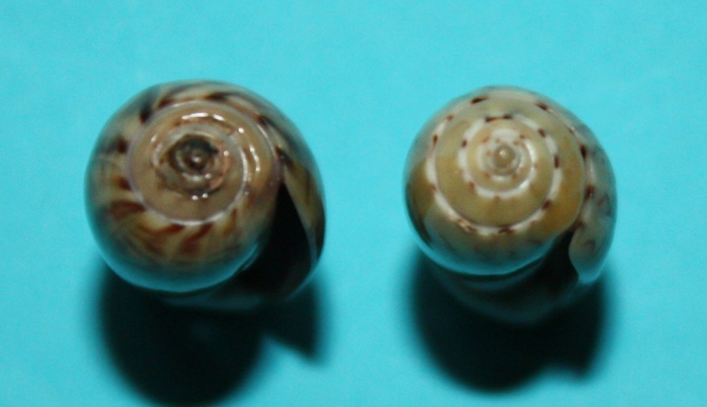 Oliva mucronalis Petuch & Sargent, 1986 Img_1819