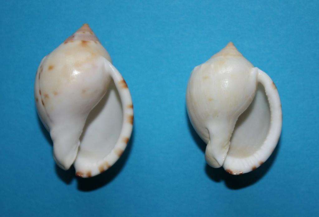 Semicassis labiata - (Perry, 1811)  Img_2322