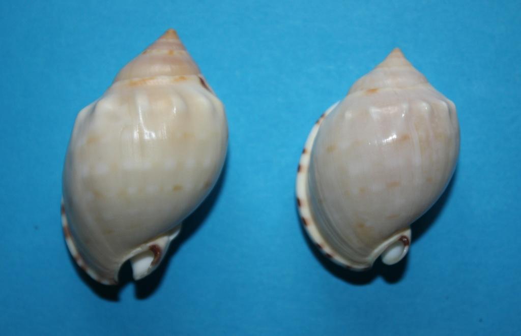 Semicassis labiata - (Perry, 1811)  Img_2323
