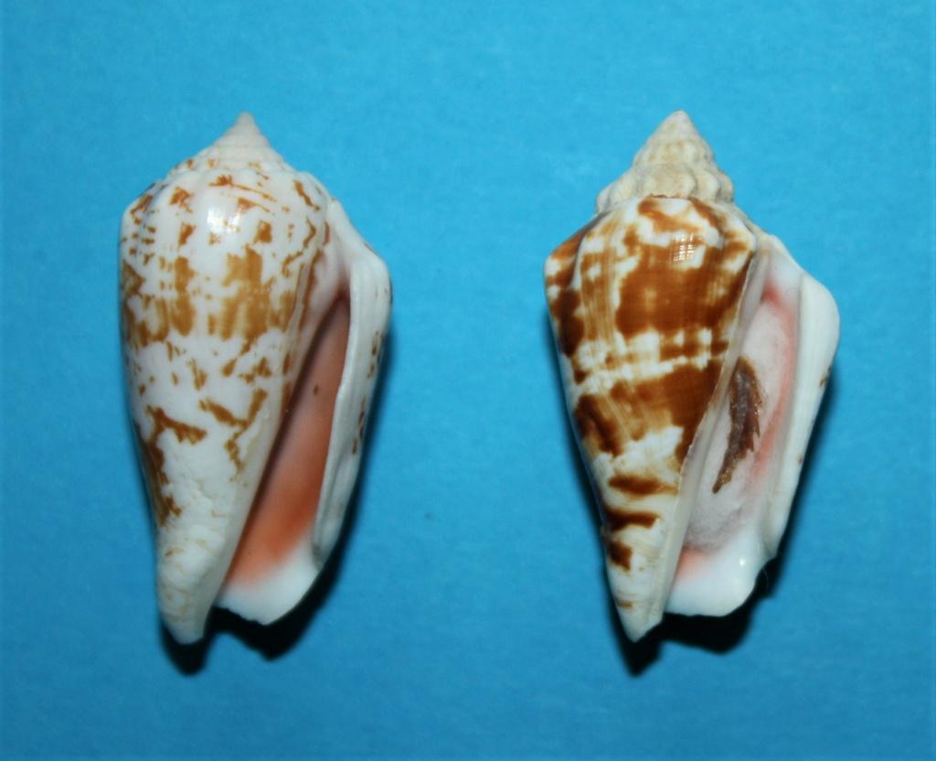Conomurex coniformis - (Sowerby II, 1842) Img_2510