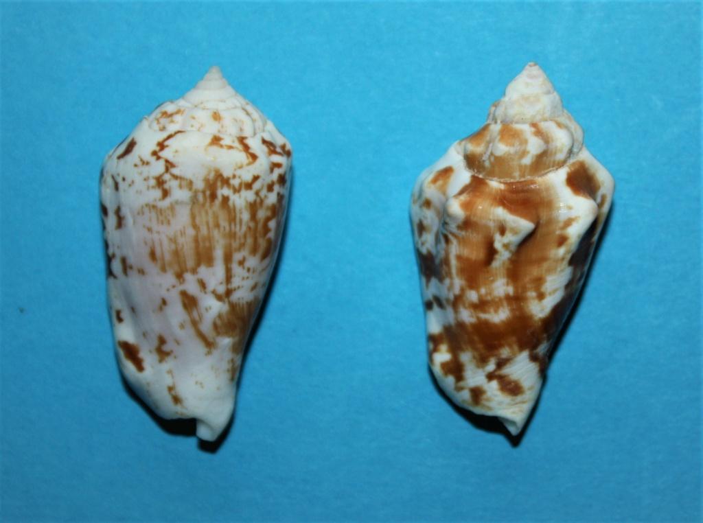 Conomurex coniformis - (Sowerby II, 1842) Img_2511