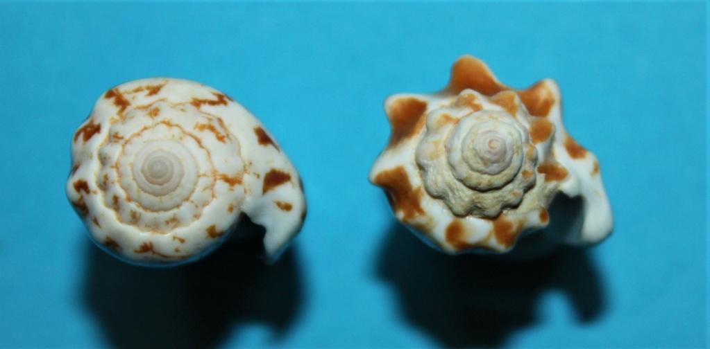 Conomurex coniformis - (Sowerby II, 1842) Img_2512