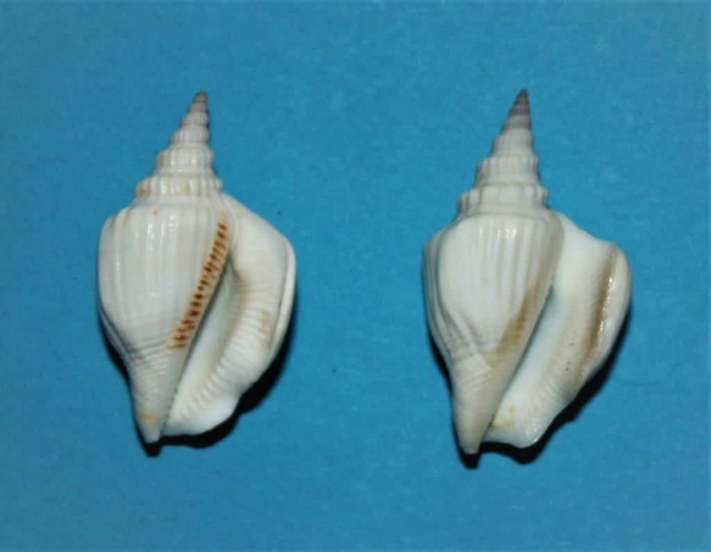 Dolomena yerburyi - (E.A.Smith, 1891) voir Dolomena plicata yerburyi - (E. A. Smith, 1891) Img_2517