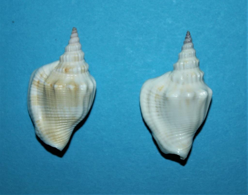 Dolomena yerburyi - (E.A.Smith, 1891) voir Dolomena plicata yerburyi - (E. A. Smith, 1891) Img_2518