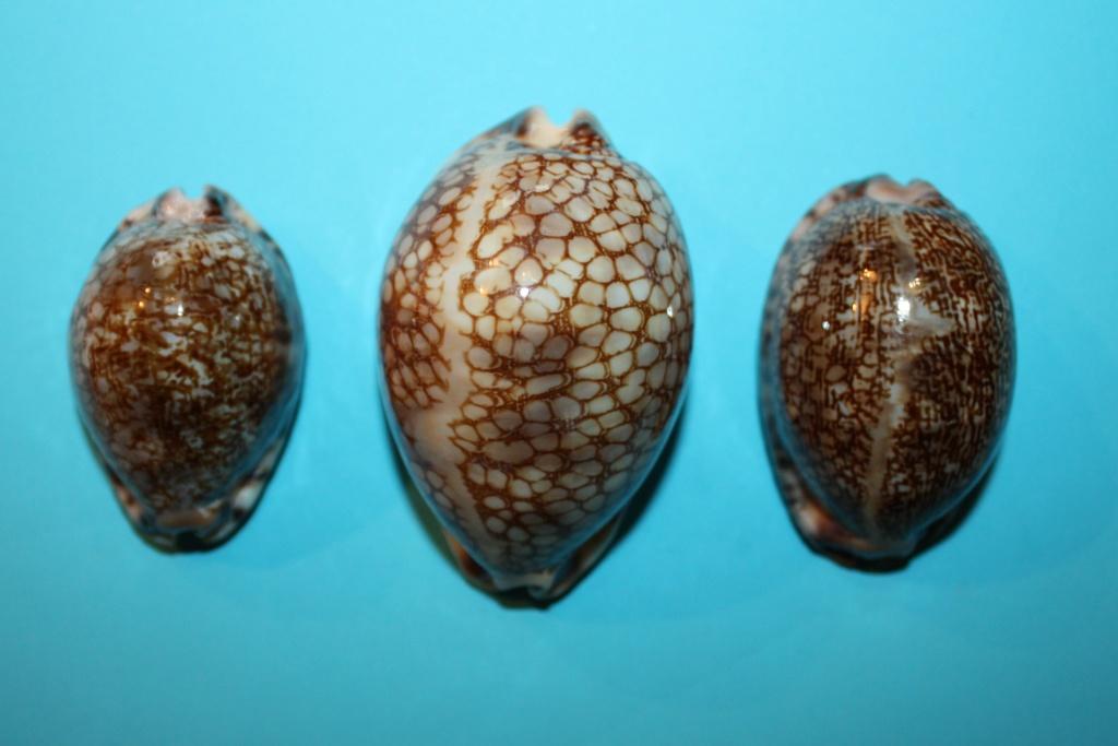 3 espèces du Genre Mauritia aux Iles Laquedives Img_9318