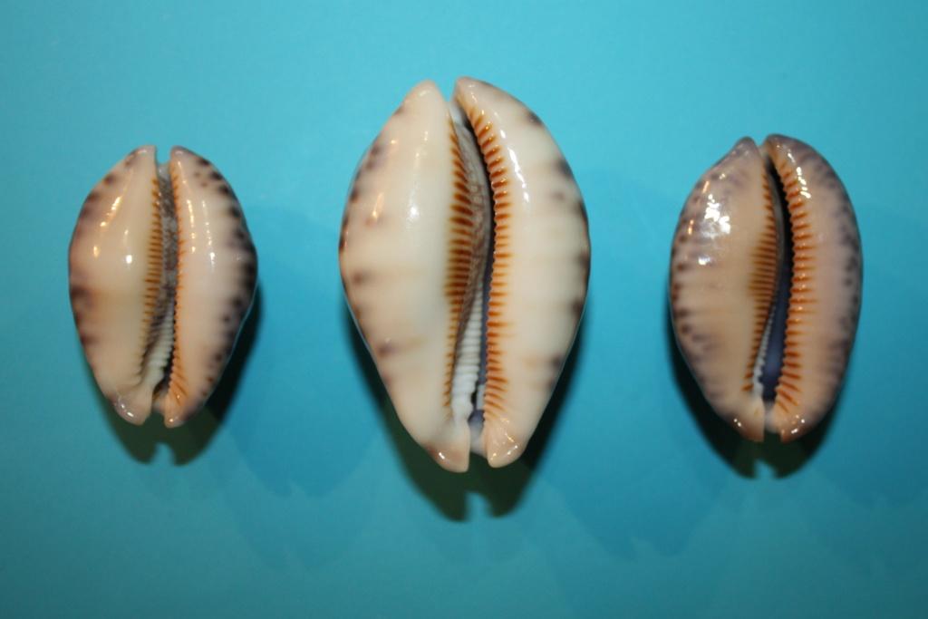 3 espèces du Genre Mauritia aux Iles Laquedives Img_9319