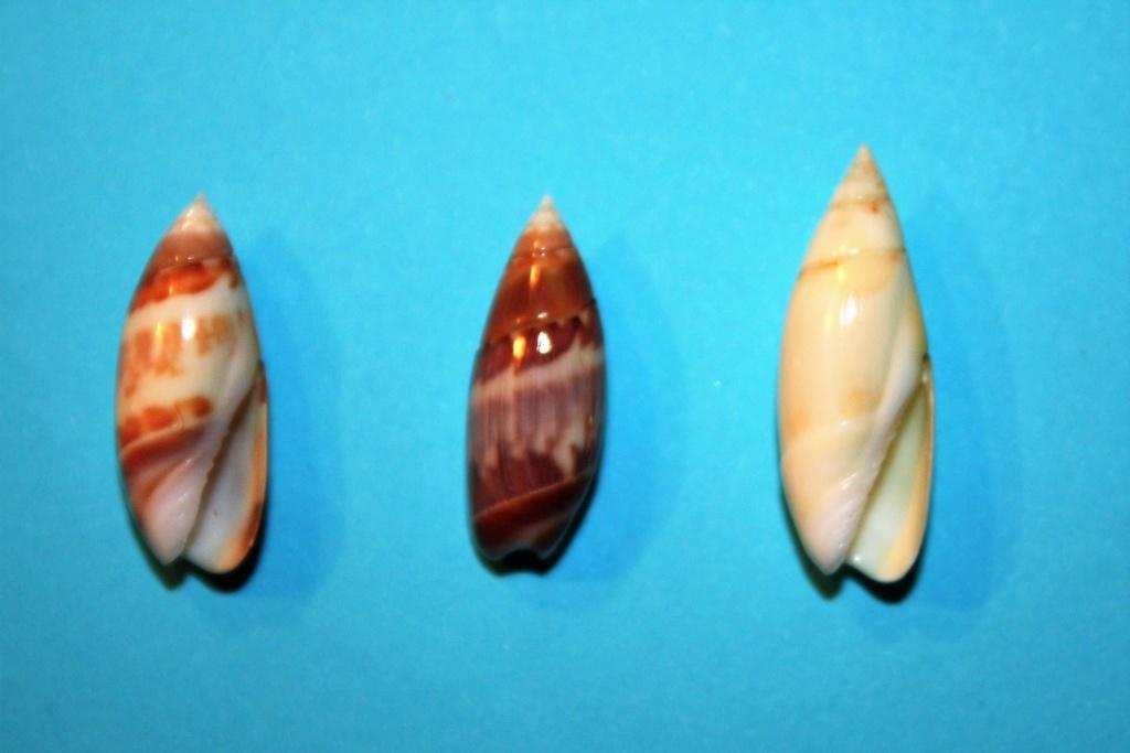 Olivella nivea - (Gmelin, 1791) Img_9330