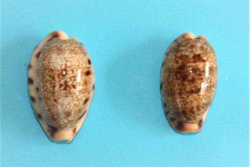 Erronea caurica quinquefasciata - (Röding, 1798)  Img_9923