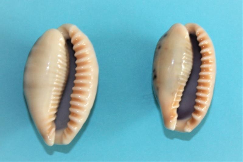 Erronea caurica quinquefasciata - (Röding, 1798)  Img_9924