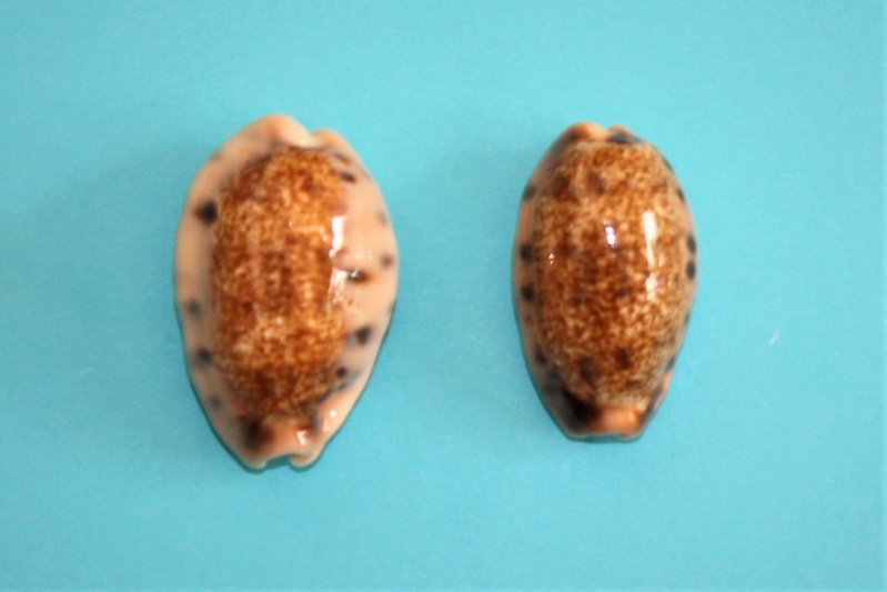 Erronea caurica samoensis - Lorenz, 2002 Img_9925