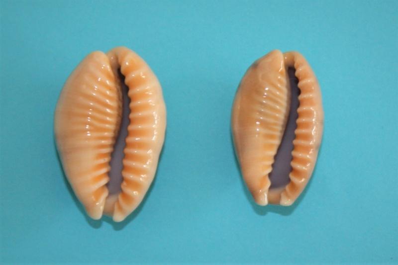 Erronea caurica samoensis - Lorenz, 2002 Img_9926