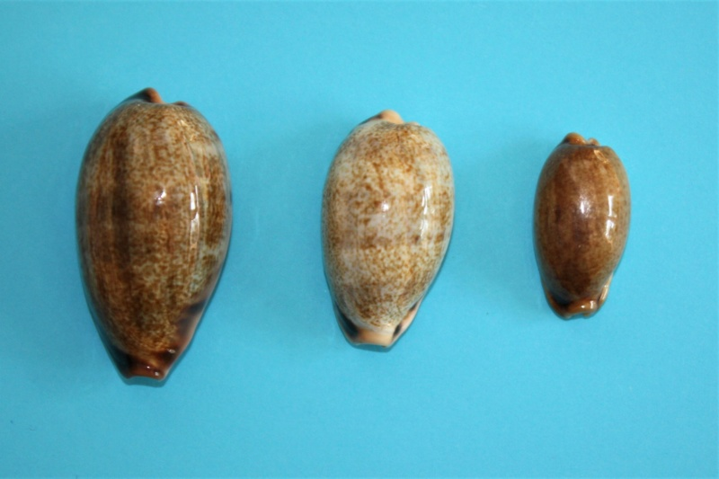 Erronea caurica elongata - (Perry, 1811) Img_9927