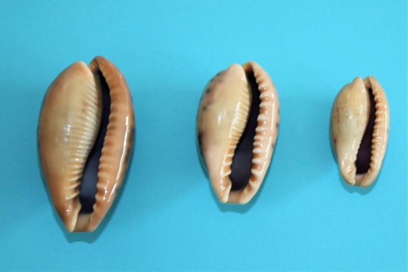 Erronea caurica elongata - (Perry, 1811) Img_9928