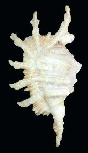 Lambis montorum - T. Cossignani & Lorenz, 2020 Lambis11
