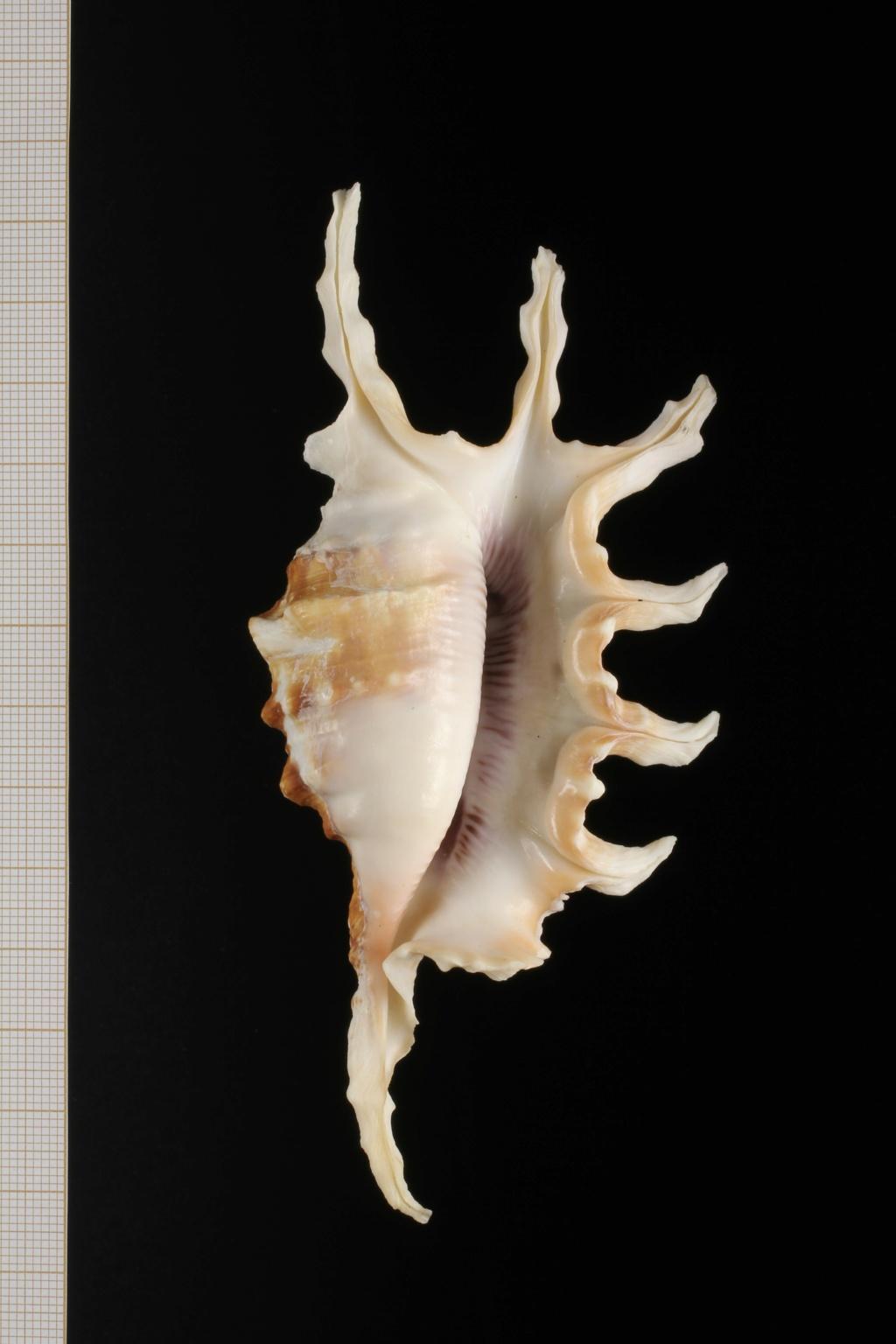 Lambis montorum - T. Cossignani & Lorenz, 2020 Lambis12