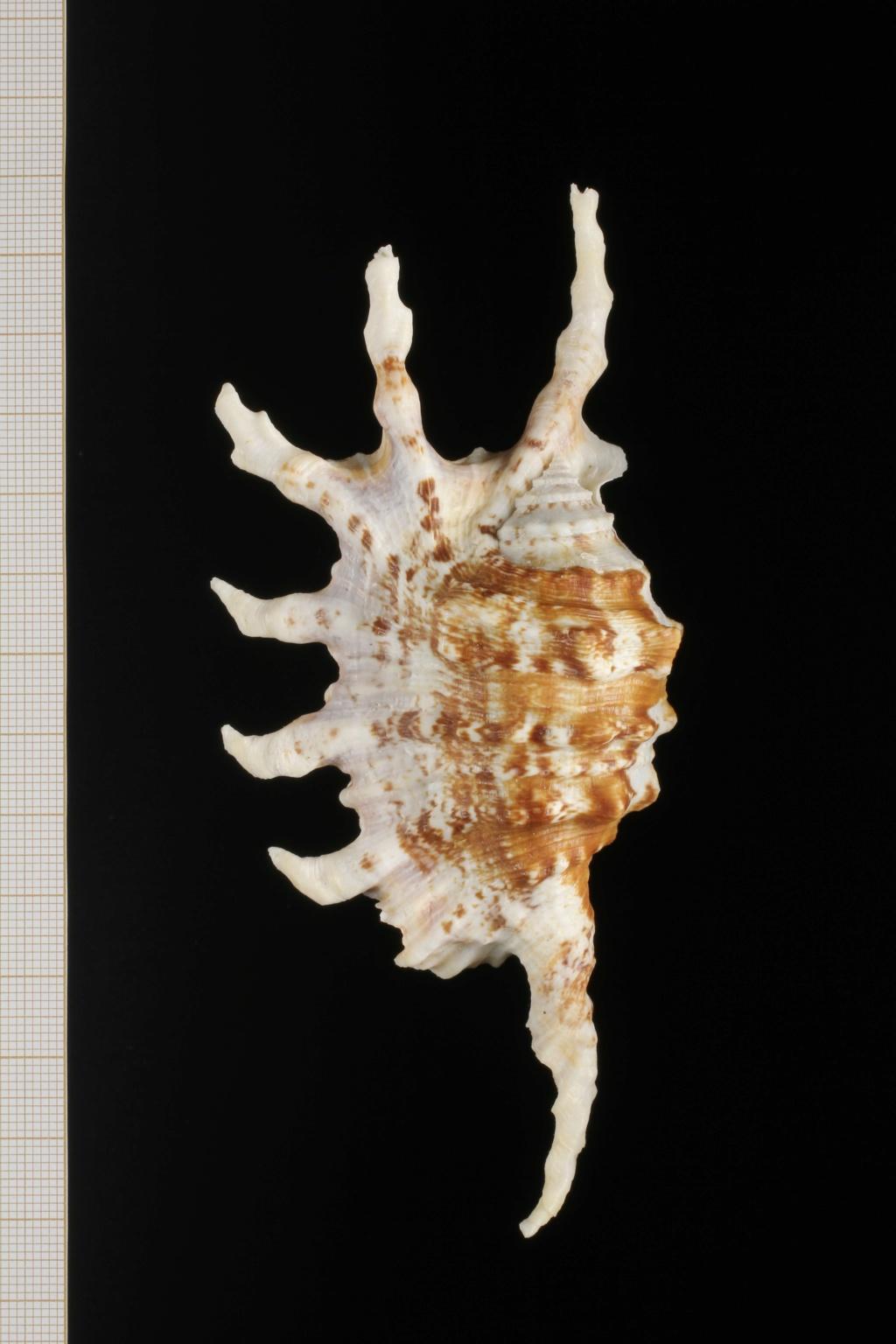Lambis montorum - T. Cossignani & Lorenz, 2020 Lambis13