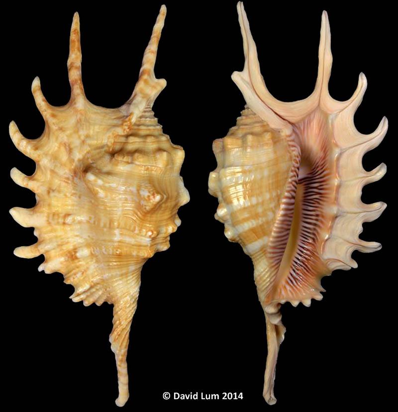 Ophioglossolambis itsumiae Lum, 2021 Lambis19