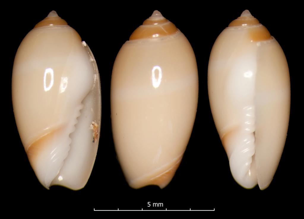 Olivella fuscocincta - Dall, 1889 Macgin10