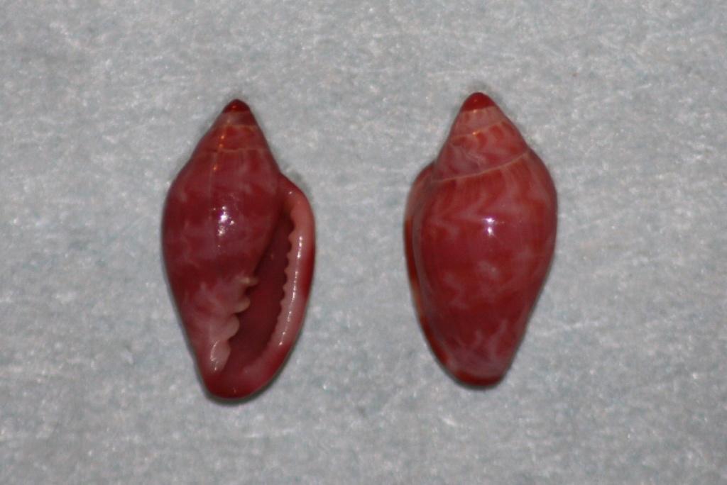 Marginella cloveri - Rios et Matthews, 1972 et Marginella purpurea - Cossignani, 2006 Margin19