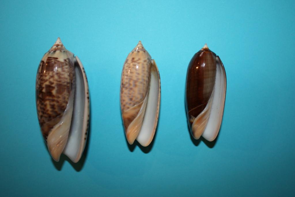Miniaceoliva concinna f. kremerorum (Petuch & Sargent, 1986) accepted as Miniaceoliva concinna (Marrat, 1870) Miniac30