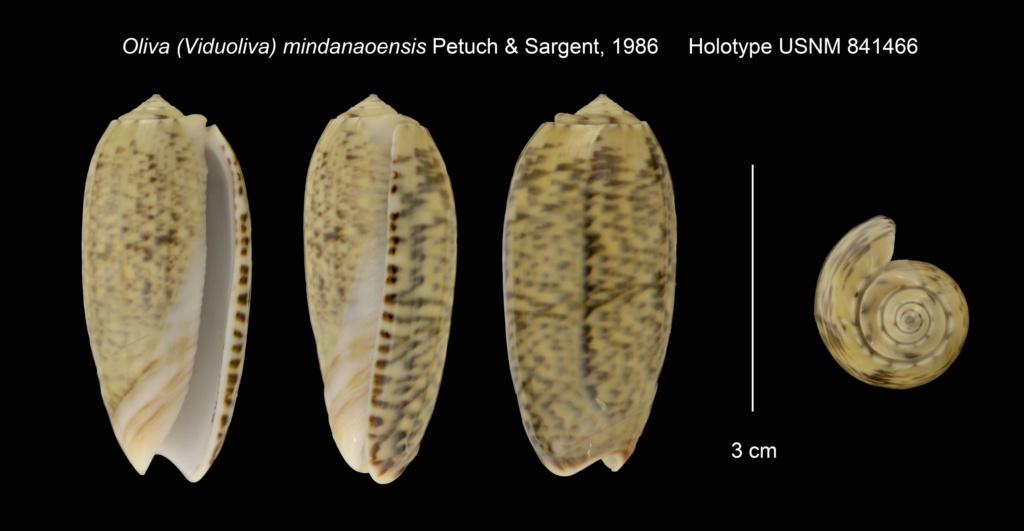 Viduoliva vidua mindanaoensis Petuch & Sargent, 1986 Oliva_16