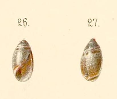 Olivella signata (Lischke, 1869) Oliva_27