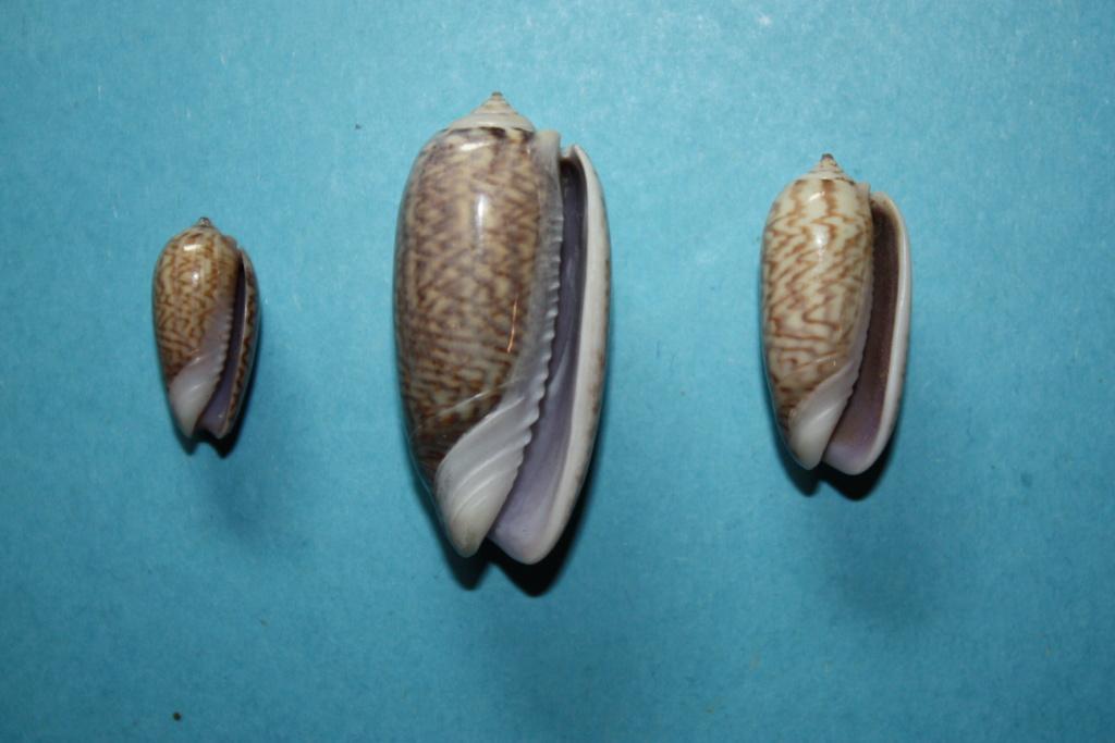 Oliva mucronalis Petuch & Sargent, 1986 Oliva_31