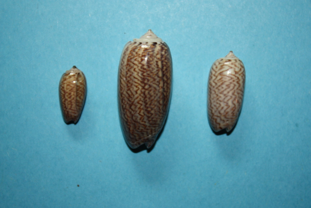 Oliva mucronalis Petuch & Sargent, 1986 Oliva_32
