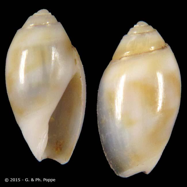 Olivella riosi Klappenbach, 1991 ou Olivella (Olivina) riosi Klappenbach, 1991 Olivel10