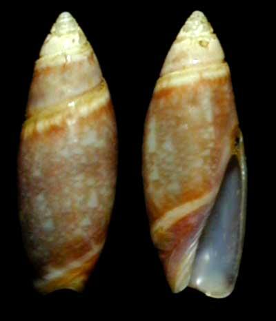 Olivella arionata Absalao, 2000 Olivel11