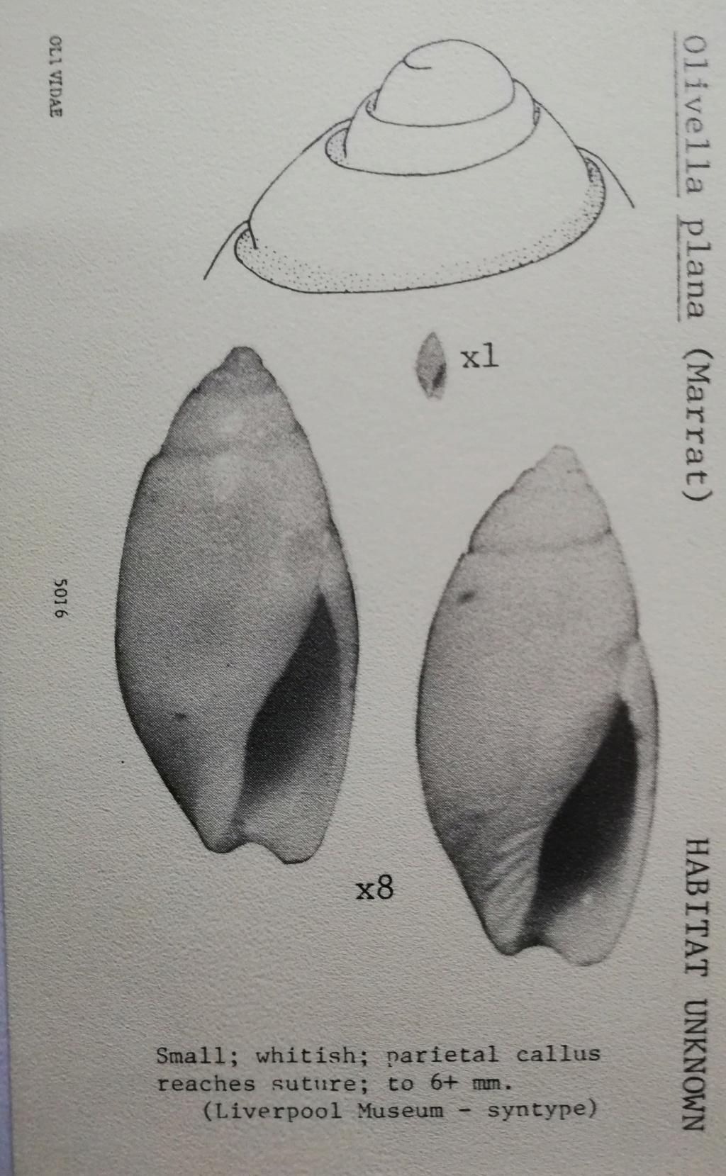 Olivella plana (Marrat, 1871) Olivel13