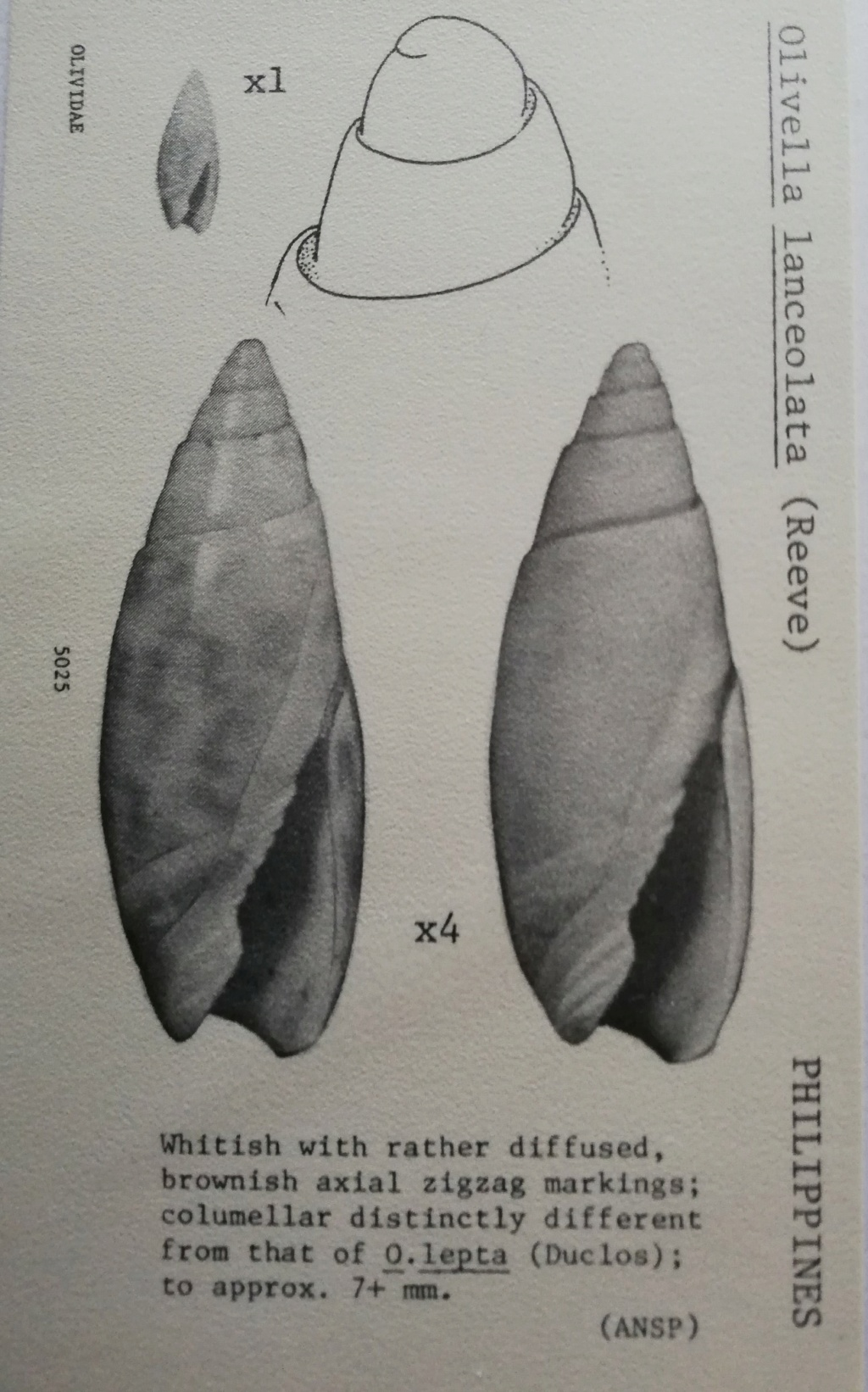 Olivella lanceolata (Reeve, 1850) Olivel15