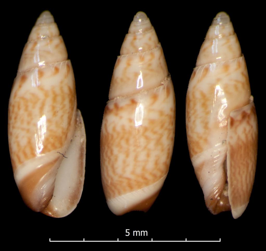 Olivella lanceolata (Reeve, 1850) Olivel16