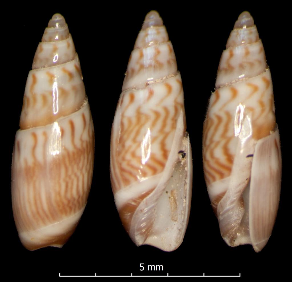Olivella lanceolata (Reeve, 1850) Olivel17