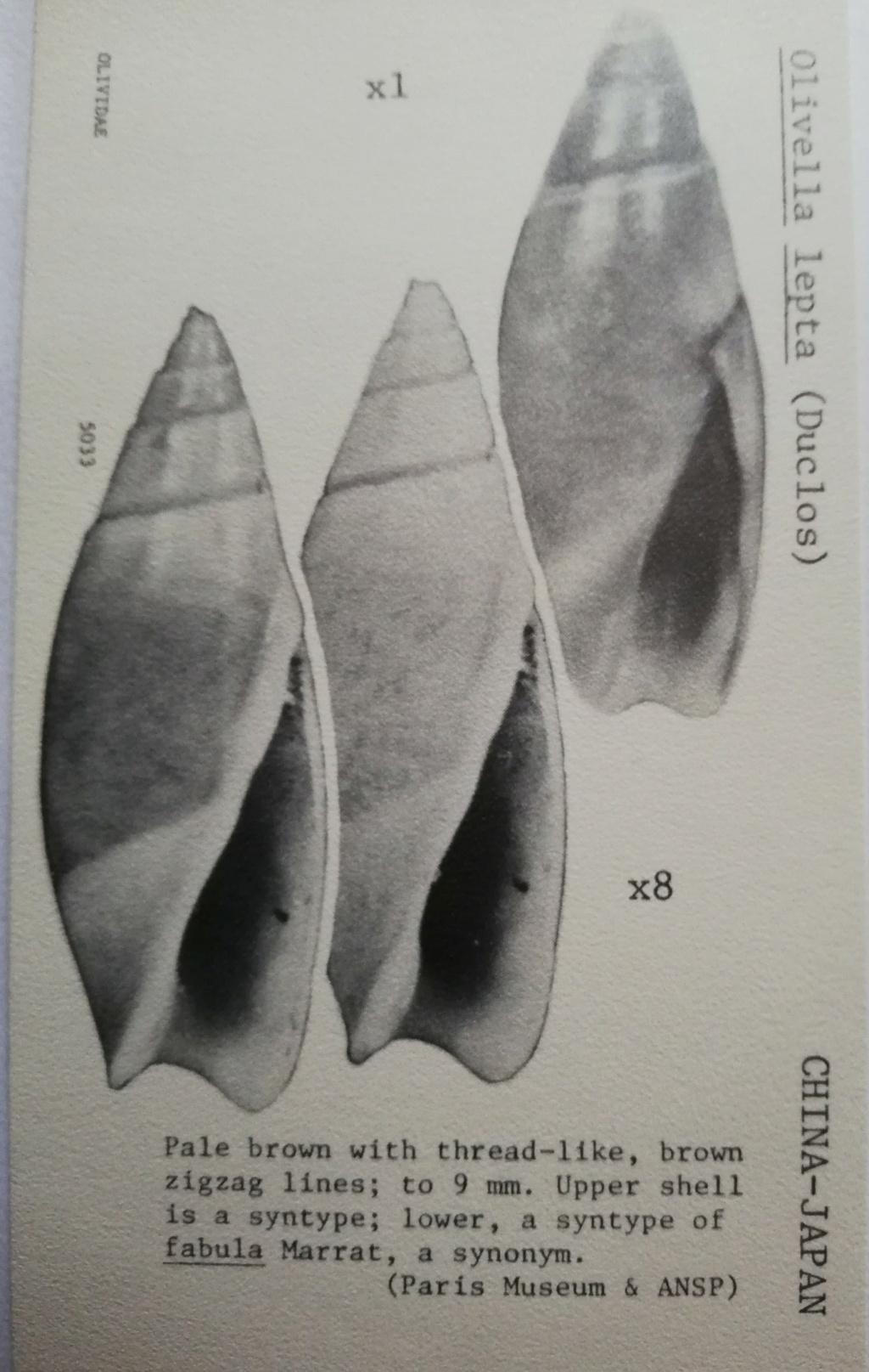 Olivella fulgurata (A.Adams & Reeve, 1850) Olivel18