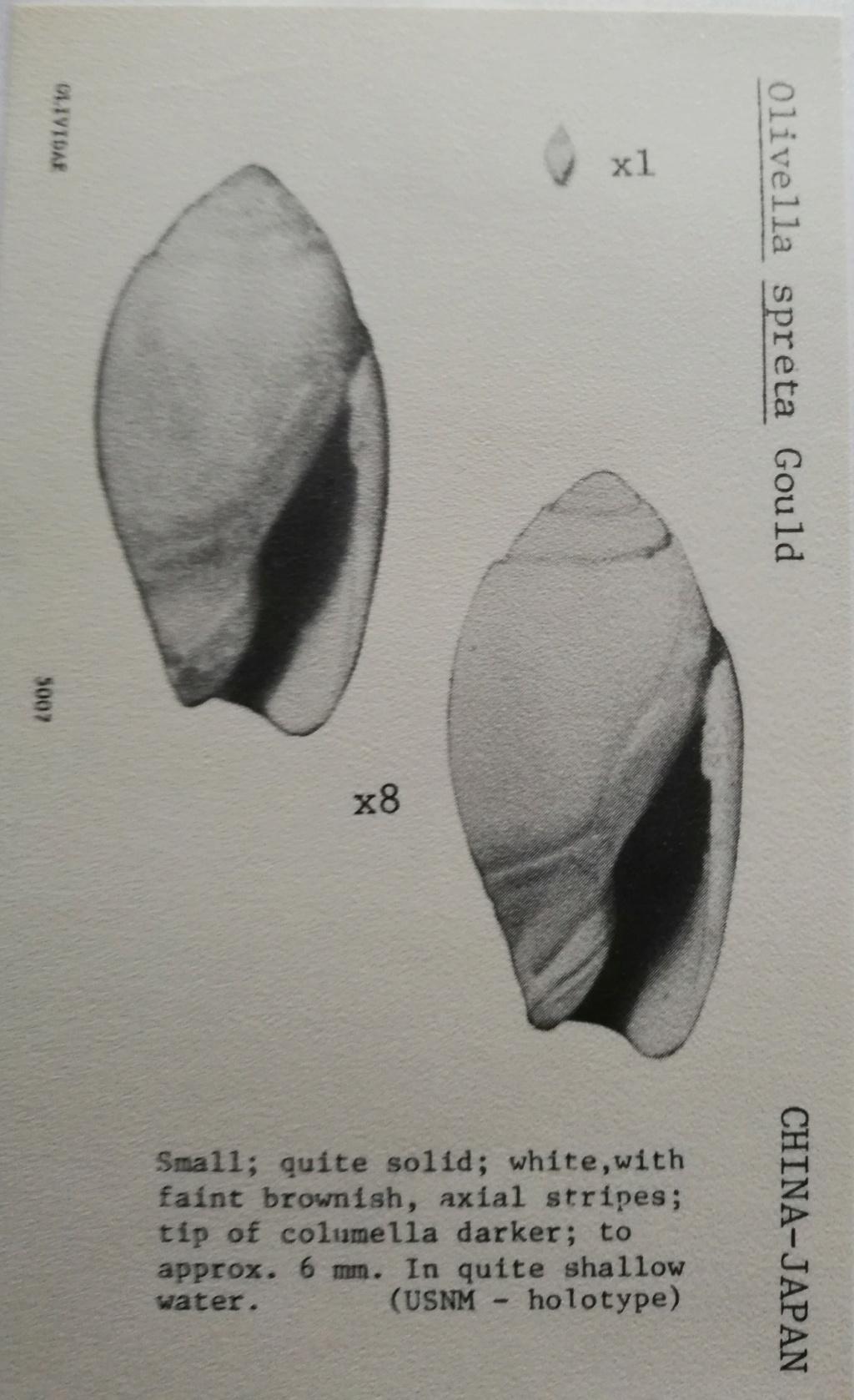 Olivella spreta Gould, 1861 Olivel19