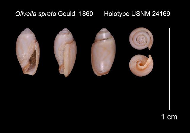 Olivella spreta Gould, 1861 Olivel20