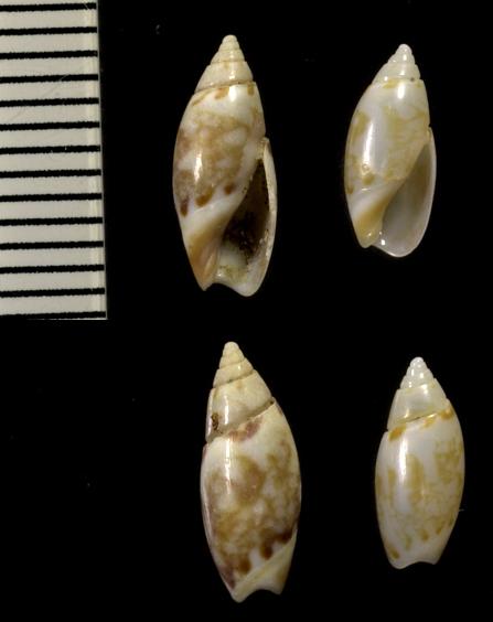 Olivella signata (Lischke, 1869) Olivel22