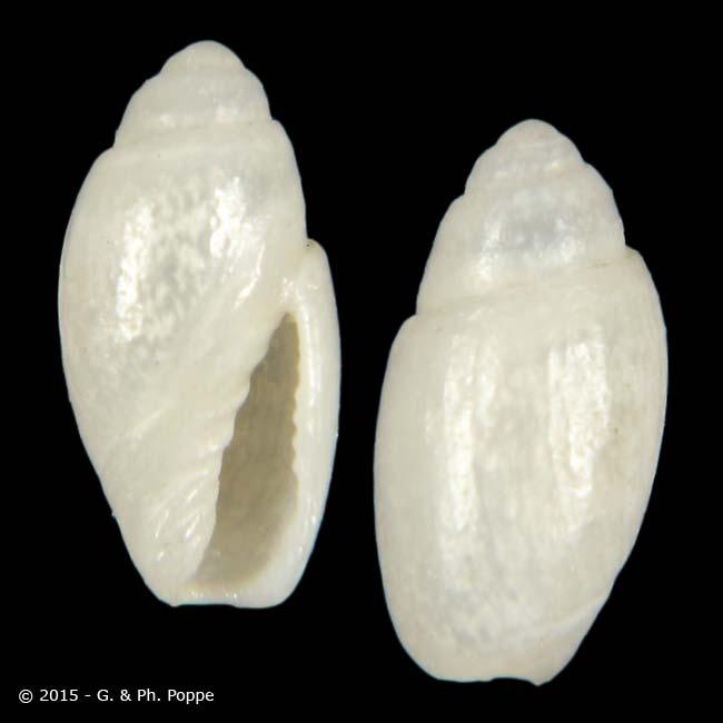 Olivella micula (Marrat, 1871) Olivel24