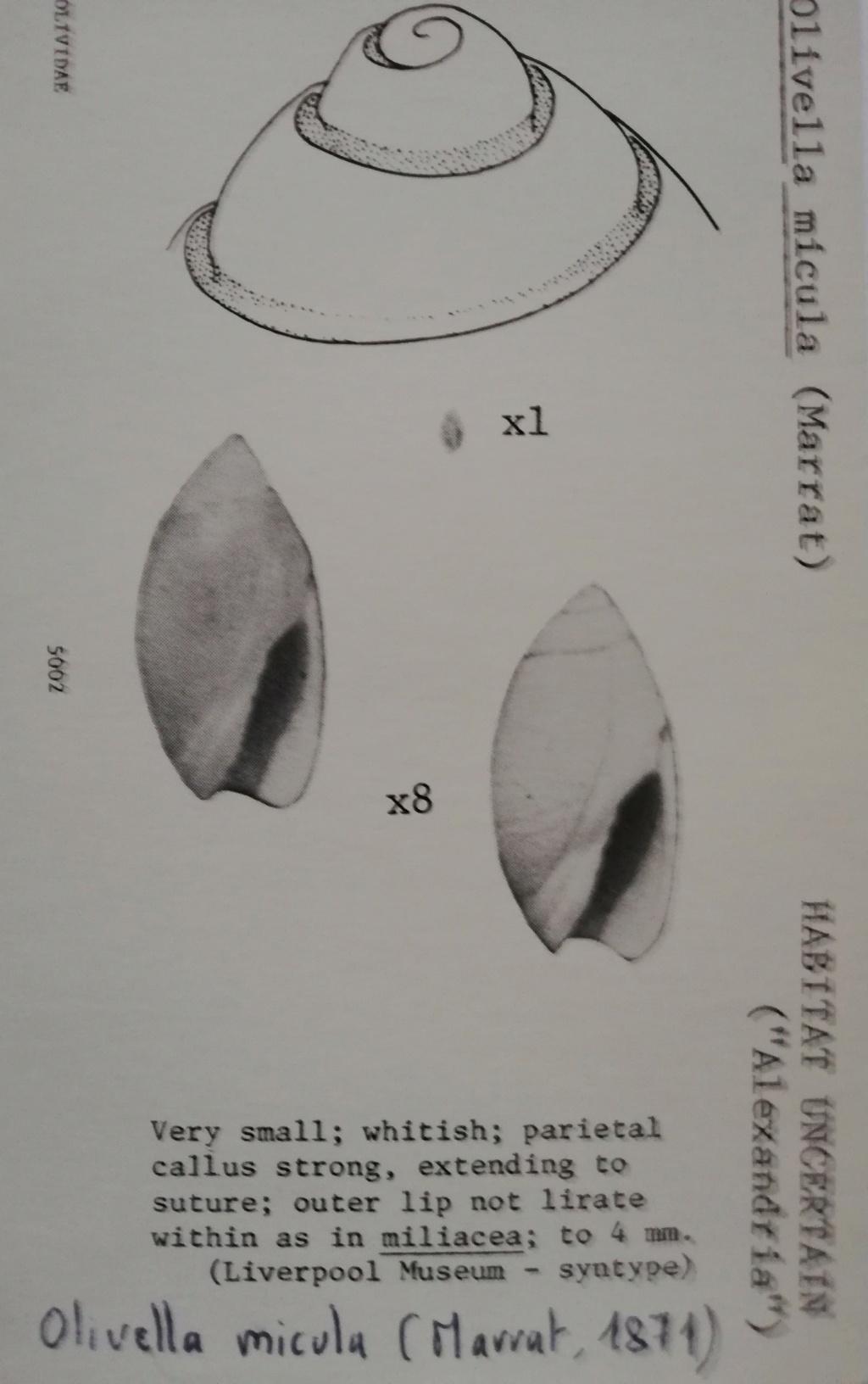 Olivella micula (Marrat, 1871) Olivel25