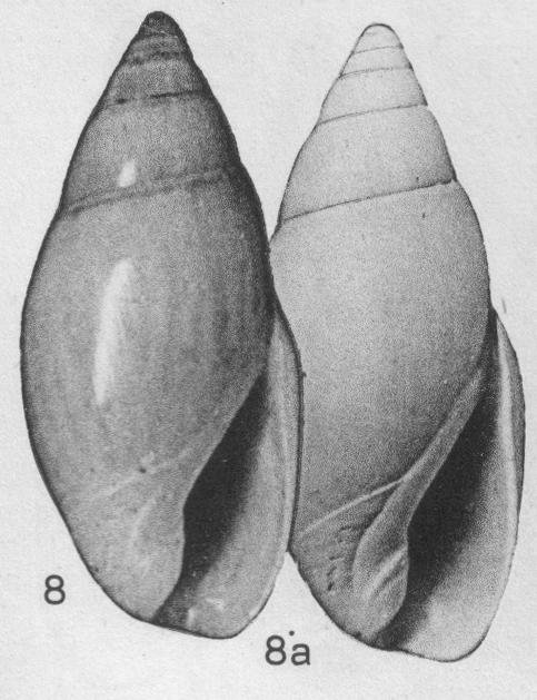 Olivella moorei Abbott, 1951 ou Callianax moorei Abbott, 1951 Olivel26