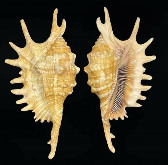 Ophioglossolambis itsumiae Lum, 2021 Ophiog13