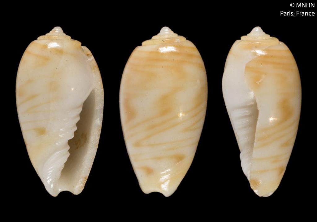 Olivella marginelloides (Paulmier, 2007) ou Macgintiella marginelloides Paulmier, 2007 Paroli10