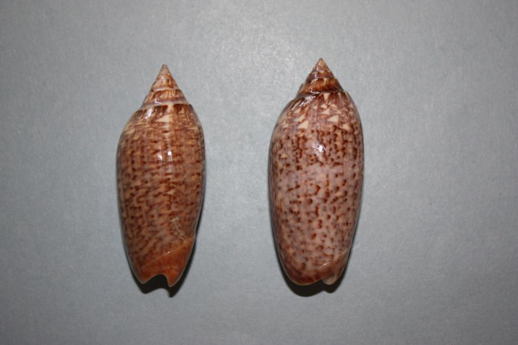 Americoliva spicata deynzerae (Petuch & Sargent, 1986) Right_10