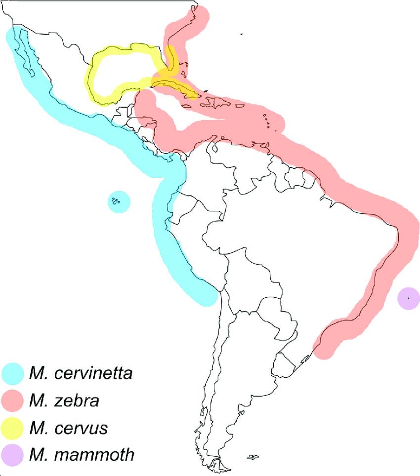 Macrocypraea mammoth - Simone & Cavallari, 2020  -  nouvelle espèce de Trindade Schema10