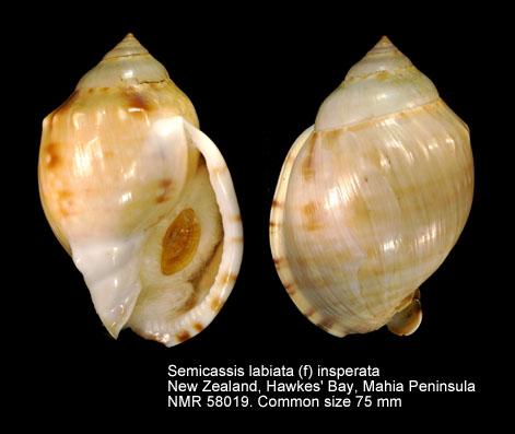 Semicassis labiata - (Perry, 1811)  Semica10