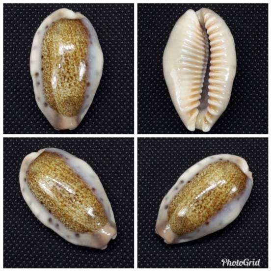 Erronea caurica songkalongensis Lorenz, 2019 Tulung10