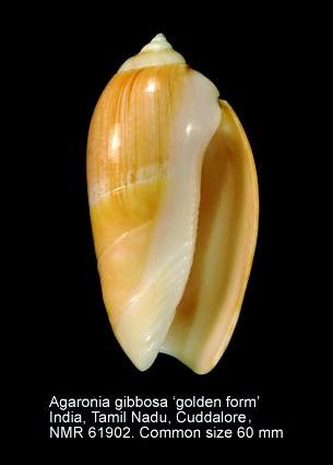 demander l'authenticité des coquilles olividae Utricu10
