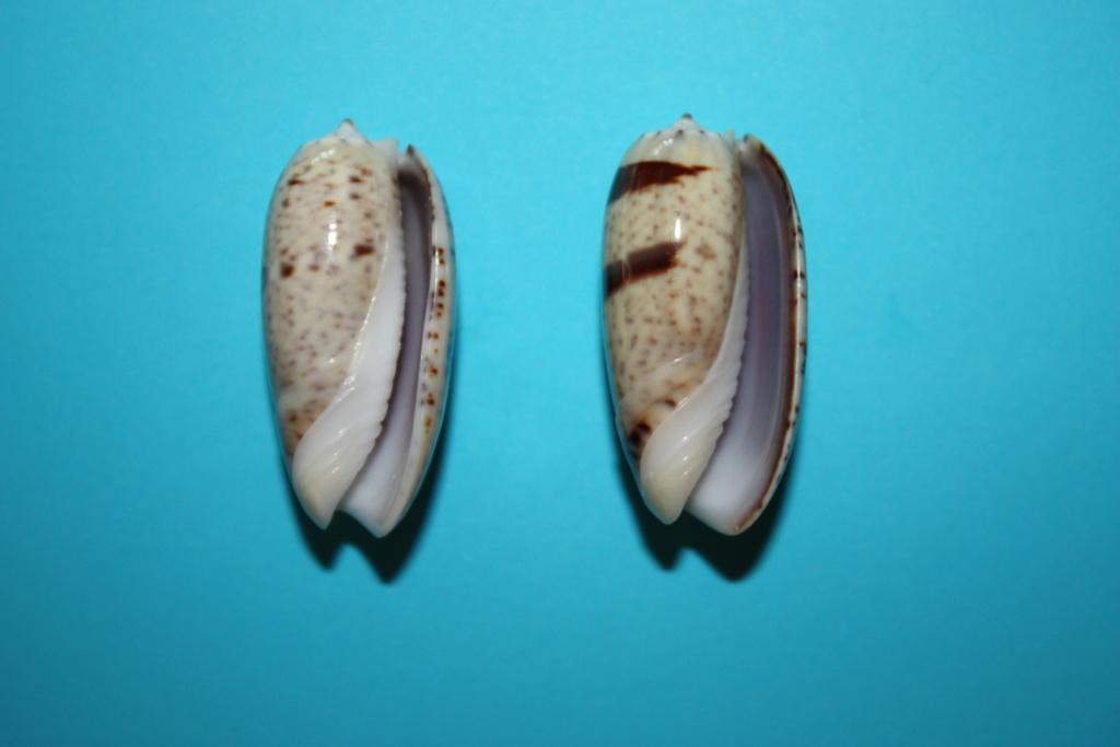 Viduoliva indomalaysica (Petuch et Sargent, 1986) Viduol18